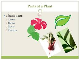 parts of the plant and their function ppt download
