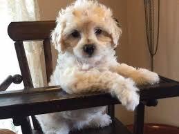 australian shepherd for sale los angeles pasadena dogs for sale and adoption pasadena classifieds