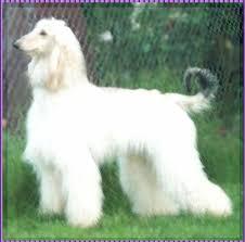 afghan hound king of dogs afghan hound aaawww misty afghan hound white show dog hosanna
