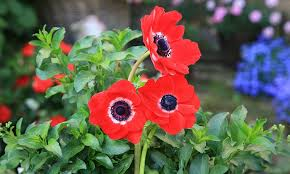 Ranunculus Flower Plant U0027em Flowering Bulb Kits Groupon Goods