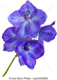 delphinium flower blue delphinium flower isolated on white stock photography