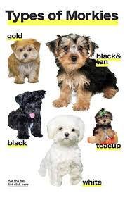 best 25 morkie puppies ideas on pinterest yorkie terrier mix
