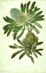 sydney native plants about sydney parkinson botanical art u0026 artists