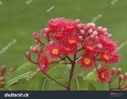australian native plant names red flowers eucalyptus summer red australian stock photo 53158327