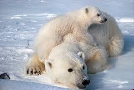 Polar Bear Fur Rug Polar Bear Facts And Adaptations Ursus Maritimus