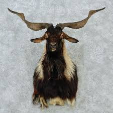 taxidermy home decor 16 goat home decor black catalina goat mount 12847 the