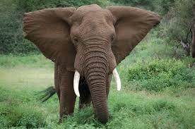 why prohibiting trade in ivory won u0027t save elephants latest news