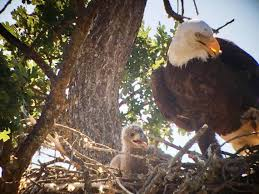 bald eagles like condors on the road to recovery the tribune