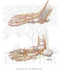 Foot Anatomy Nerves Of The Foot Arteries And Nerves Of The Foot