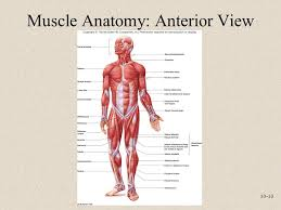 Human Anatomy Anterior Anatomy And Physiology Seventh Edition Ppt Video Online Download