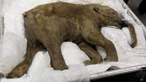 preserved strawberry blond mammoth discovered siberia