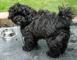 affenpinscher breeders canada chewy the shih tzu mix puppy kind of looks like my azh puppies