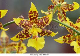 oncidium orchid oncidium orchid stock photos oncidium orchid stock images alamy