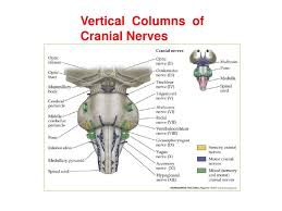 Pyramids Of The Medulla Anatomy Of Brainstem