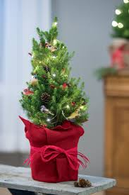 Pre Decorated Live Tabletop Christmas Trees by Tabletop Christmas Tree Living Spruce With Birds Gardeners Com