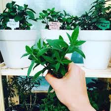 how to start an herb garden for beginners useful tips ugr