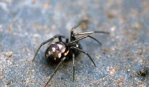 Black Widow Spiders Had A - false black widow spider facts bite habitat information