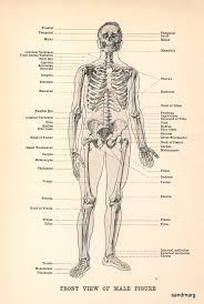 Human Anatomy Skeleton Diagram 98 Best Anatomy Illustration Images On Pinterest Drawing