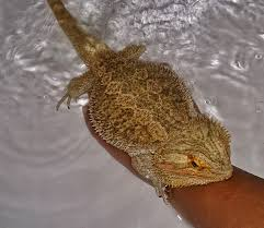 bearded dragon care bearded dragon health diseases
