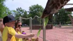 Denver Zoo Lights Coupons by Denver Zoo Celebrates Grand Opening Of Giraffe Encounter Youtube