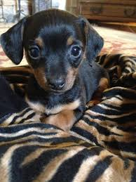 short haired dorkie mixes dorkie puppies dachshund and yorkie mix i want one just because