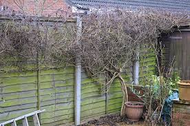 pruning clematis i want to paint the fence and trellis page 1