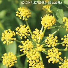 minnesota native plants bwsr mixes shooting star native seeds