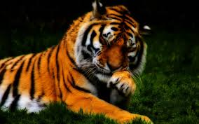 alive colors wallpapers fluffy tiger with superbe orange fur hd wallpaper home of