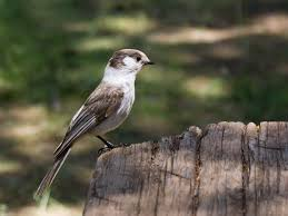 camp robber of the west gray jay pacific nw birder