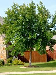 Backyard Trees For Shade - die besten 25 best shade trees ideen auf pinterest ecke