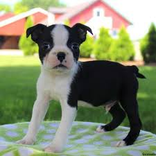 american pitbull terrier for sale in ohio boston terrier puppies for sale greenfield puppies