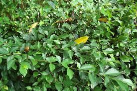 Teh Tehan tanaman disekitar kita teh tehan acalypha siamensis