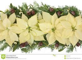 white poinsettia poinsettia decorative display stock photography image 33119102