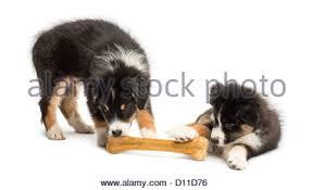 australian shepherd 2 months puppies stock photos u0026 puppies stock images alamy