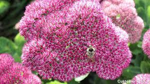 native plants for butterfly gardening benton soil u0026 water dragon u0027s blood sedum stonecrop american meadows