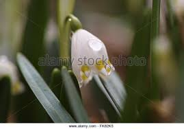 Snowflake Flower - white flowers summer snowflake stock photos u0026 white flowers summer