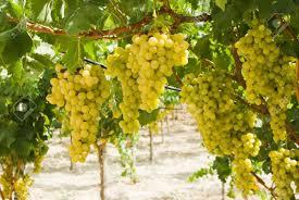 Grape Vine Pergola by Grapes Of White Vine In A Vineyard Pergola Stock Photo Picture