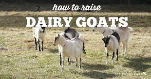 how to raise dairy goats the paleo mama
