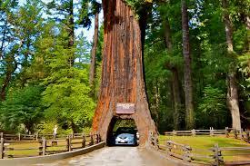 Chandelier Tree Address Chandelier Tree Mendocino Ca Thesecretconsul Com