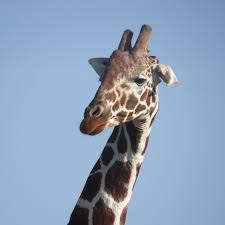 thoughts on the killing of a giraffe u2013 passion for fresh ideas