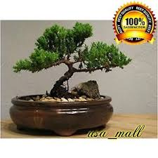 live bonsai tree ebay