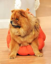pumpkin pet costume u0026 video martha stewart