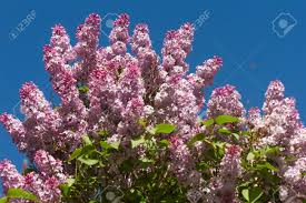 lilac bush pink or mauve mosquito flying stock photo picture and