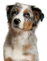 australian shepherd traits australian shepherd puppies information behavior and training