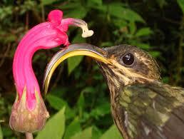 hummingbird flowers a flower that fits the bill hhmi biointeractive