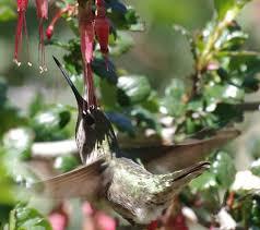 Hummingbird On A Flower - how to attract anna u0027s hummingbird