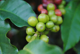 coffee varieties what are f1 hybrids u0026 why are they good news