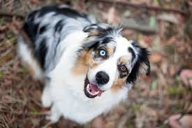 d b australian shepherds pretty fluffy