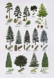 60 best pine trees images on plants botany and branches