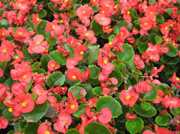 begonia flower choose the right begonia for your garden wax tuberous begonia